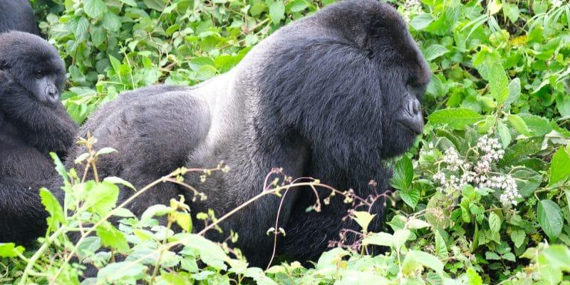 AFRIQUE : financer les ONG pour améliorer la protection des grands singes